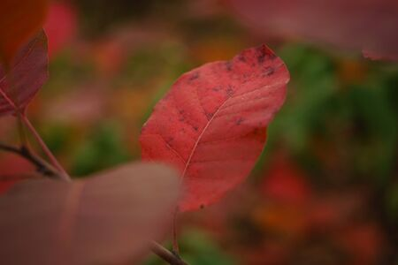 red leaf grow in autumn forest closeup.