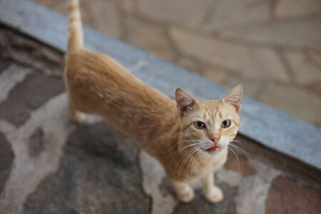 red cat standing on a wild stone floor and looking at the camera, animal portrait outdoor 스톡 콘텐츠 - 132083980