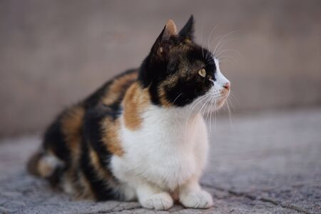 Tricolor cat lying on the stone floor at summer yard. 스톡 콘텐츠 - 132084991