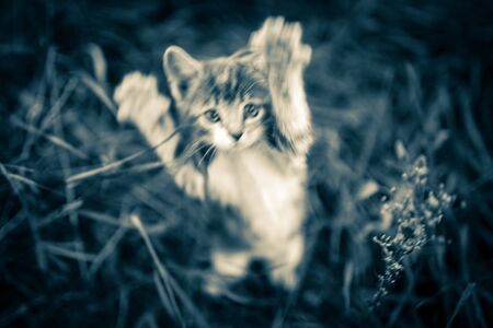Cat attack. The attacking kitten. Rabies pets Blurred 스톡 콘텐츠 - 132083577