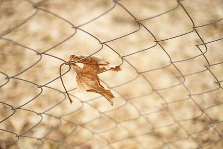 Old dry maple leaf in mesh fence in autumn garden. Copy space