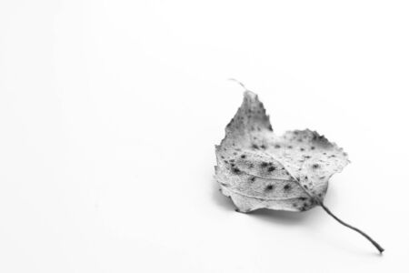 Dry birch leaf on a white surface. Selective focus, bw macro photo