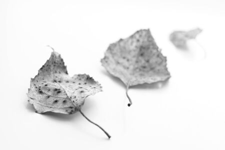 Three dry birch leaves on a white surface. Selective focus, bw photo