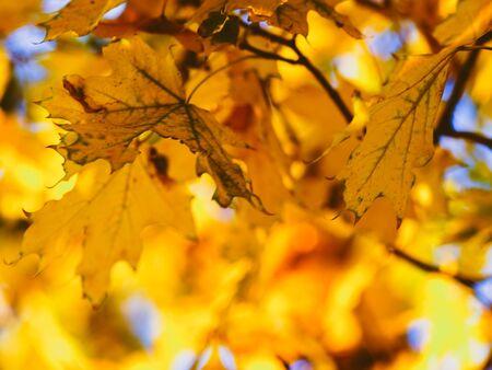 Gouden esdoornbladeren op een herfstboom in zonnig park