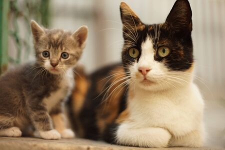 maneki neko tricolor cat and small kitten, family portrait outdoor, relaxation domestic animals Stok Fotoğraf