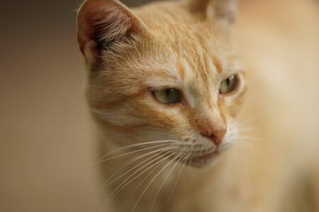 Ginger cat portrait closeup face, selective fofus. Incredibly beautiful animals.