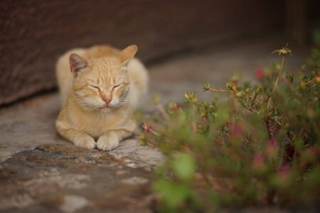 Nice ginger cat lying on the street near flowers, relax with closed eyes Stok Fotoğraf