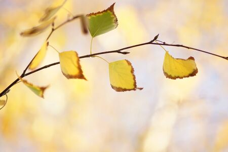 yellow autumn birch leaves on a tree, sunny day. Stock fotó