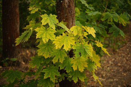 maple tree with yellow green autumn leaves closeup.