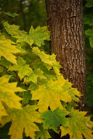 yellow green maple leaves on a background of a tree trunk