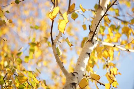 birch with yellow autumn leaves on blue sky background, sunny day.