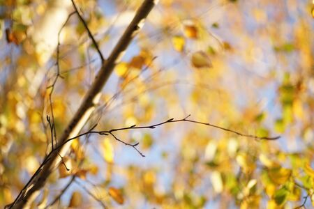 Dry birch branch on the blurred background of an golden autumn leaves and blue sky.