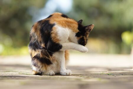 Beautiful tricolor cat washes itself with paws in a sunny yard. Cats keep clean