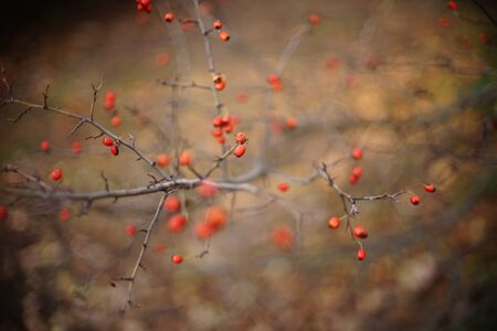 Hawthorn berries are tiny fruits that grow on trees and shrubs
