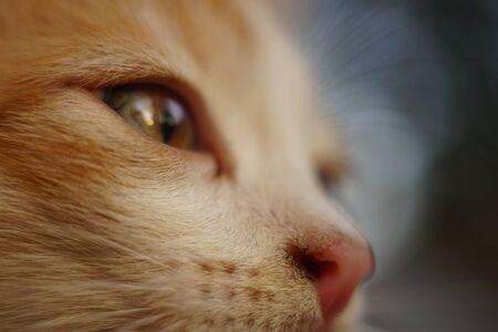 Ginger white kitten face portrait closeup, macro image, side view