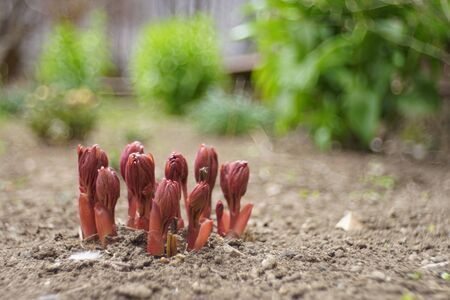 Small red sprouts of peony grow in a spring garden Stock fotó