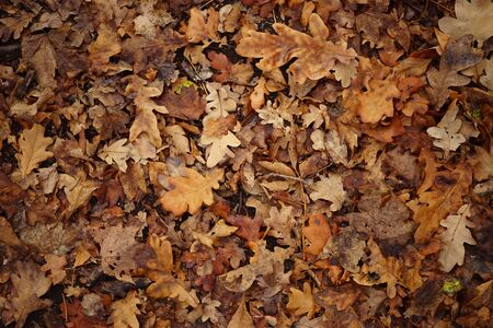Brown dry maple leaves on a floor. Autumn forest, natural background