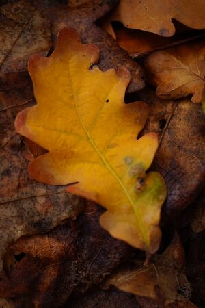 Orange autumnal oak leaf in the forest. Autumn natural background