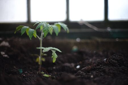 Green tomato seedlings grow in a greenhouse.