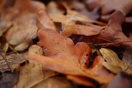 Autumnal oak leaves. Autumn forest. Natural background