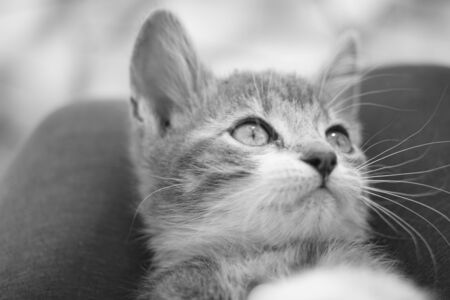 Kitten closeup face portrait. Black and white photo Stock Photo
