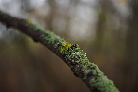 Green moss on a thin tree branch in the forest. Stok Fotoğraf