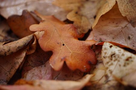Autumnal oak leaves in autumn forest. Natural background Stock Photo
