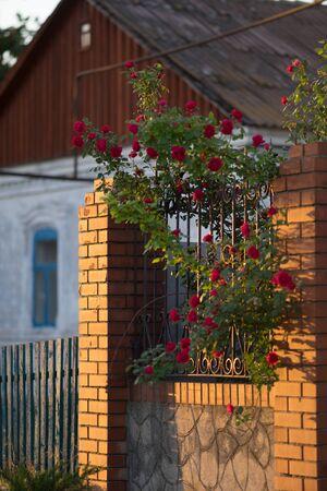 Beautiful red roses grow through the backyard near a rural house. Flower growing, gardening