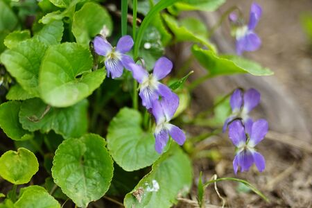 The first spring flowers violet fragrant grow in the garden Imagens