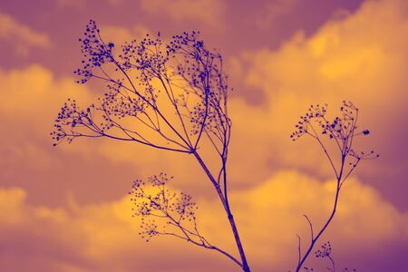 Old dry wild flowers in orange cloudy sky background Imagens