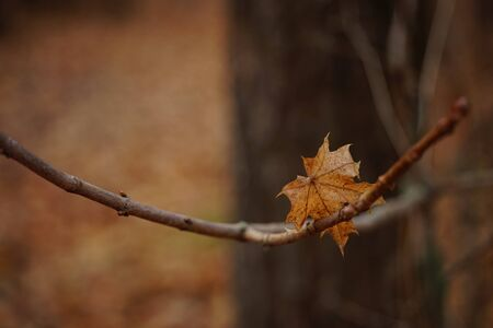 Brown dry maple leaf on a branch. Autumn forest, blurred natural background Imagens