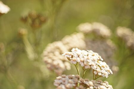 Yarrow with white flowers grow in the sunny garden closeup