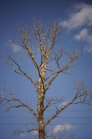 High bare tree in blue sky background