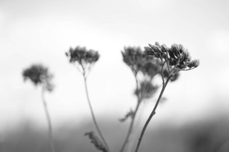 Dry autumn wild flowers grow in the field, bw photo Imagens