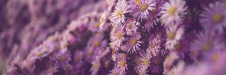 Purple chrysanthemum flowers bush closeup, natural floral background