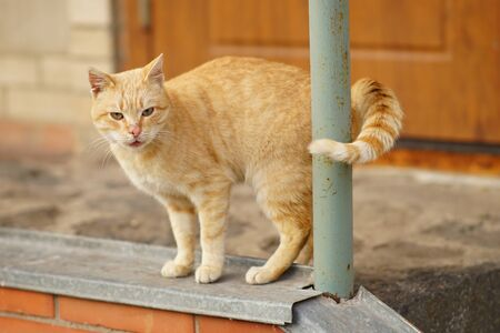 Red cat stands on the doorstep of the house