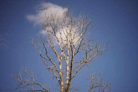 old big bare tree in blue sky with white cloud background