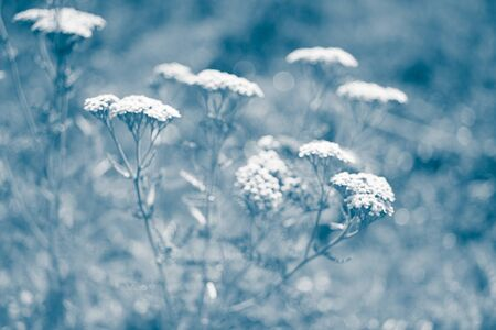 Yarrow with white flowers grow in the blue garden, blurred unfocused photo