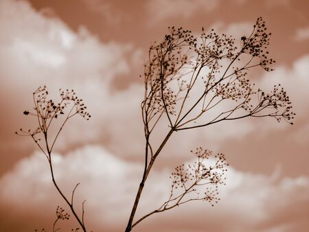 Old dry wild flower in red sky with white clouds background