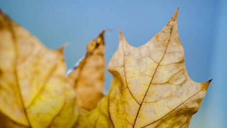 Blurred background brown dry maple leaf, macro photo