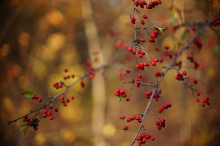 Red hawthorn berries grow on the shrub in autumn forest