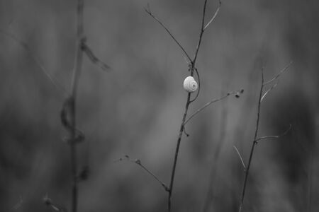 White snail shell on a branch in the garden, bw photo