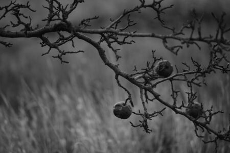 Old pears on a fruit tree branch in the autumn garden, bw photo