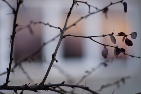 Barberry branch with dry leaves on the background of a window