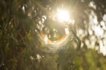 The spectrum of sunlight, the sun shines through the leaves of curly willow 스톡 콘텐츠