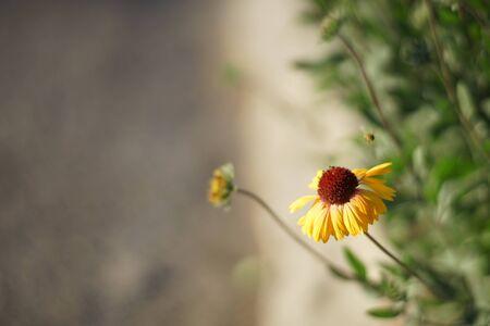 Yellow flowers gaillardia grow in the sunny summer garden near road 스톡 콘텐츠
