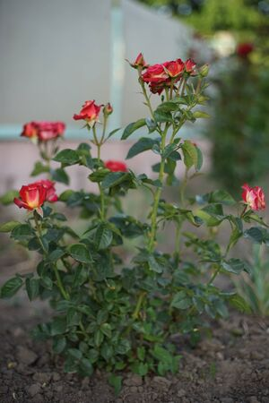 Red roses grow in the summer garden