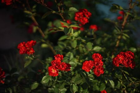 Red small roses grow in the summer garden