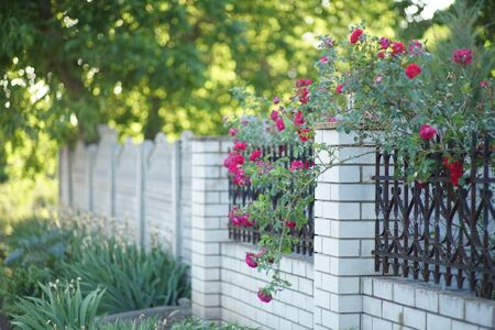 Red roses growing on brick with metal fogred fence in summer 스톡 콘텐츠