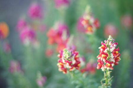 Red flowers snapdragon grow in the summer garden 스톡 콘텐츠